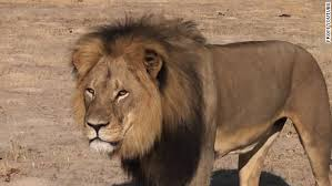 Cecil, the lion that was killed by Palmer and his guides on the outskirts of Zimbabwe's Hwange National Park.